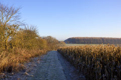 Dry maize and woodland Stock Image