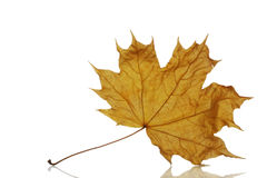 Dry maple autumn leaf Royalty Free Stock Photography