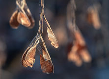 Dry maple keys in the winter Royalty Free Stock Photography