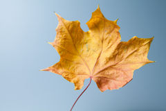 Dry maple leaf Stock Photos