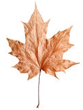 Dry maple leaf Stock Image