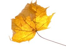 Dry maple leaf. Isolated on white Royalty Free Stock Photos