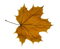 Dry maple leaf Stock Images