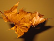 Dry maple leaf. Unusual view of dry maple leaf. Soft focus and dramatic lighting Royalty Free Stock Images