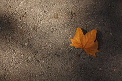 Dry maple leaf on the asphalt Stock Photos
