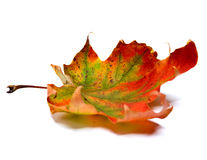 Dry maple leaf Stock Photography