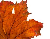 Dry maple leaf in corner Stock Image