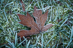 Dry maple leaf on a frost touched lawn Royalty Free Stock Photo