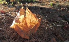 Dry maple leaf. On the ground Stock Photos