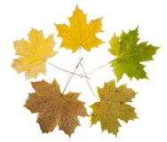 Dry maple leaf is isolated on white Stock Images