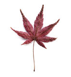 Dry maple leaf Royalty Free Stock Photo