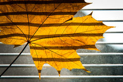 Dry Maple leaf on the jalousie window background Royalty Free Stock Image