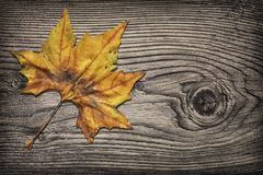 Dry maple leaf on knotted pinewood rustic vignetted grunge background Stock Photos