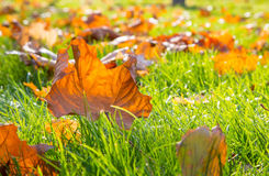 Dry maple leaf lying on green grass in the sun Royalty Free Stock Image