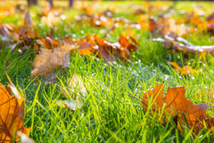Dry maple leaf lying on green grass in the sun. Shallow depth of field. Autumn season. Nature concept Stock Images