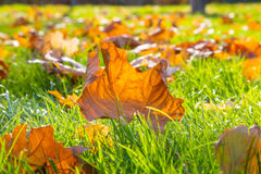 Dry maple leaf lying on green grass in the sun. Shallow depth of field. Autumn season. Nature concept Stock Image