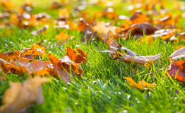 Dry maple leaf lying on green grass in the sun Stock Photography