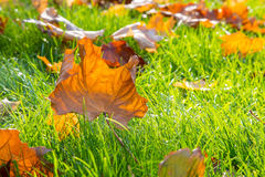 Dry maple leaf lying on green grass in the sun Royalty Free Stock Photo