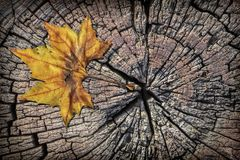 Dry maple leaf on old rotten cracked stump grunge vignetted top surface Stock Image