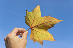 Dry maple leaf Royalty Free Stock Photography