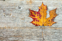 Dry maple leaf on rustic wood table Royalty Free Stock Photo