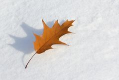 Dry maple leaf on winter snow Royalty Free Stock Photo