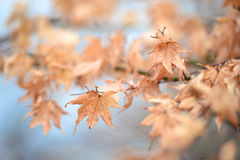Dry maple leaves Stock Photos