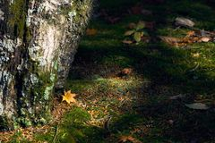 Dry maple leaves fall to the ground. The moss is densely covered throughout. Lonely Use images as background. Or scene Royalty Free Stock Photo