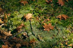 Dry maple leaves fall to the ground. The moss is densely covered throughout. Lonely Use images as background. Or scene Stock Image