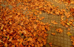 Dry maple leaves on the floor Royalty Free Stock Images