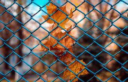 Dry leaves on a grid of fencing on a sunny day Royalty Free Stock Photography