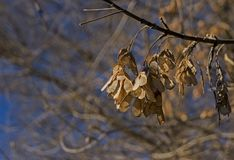 Dry maple seeds on a branch. Lit by the morning sun stock images