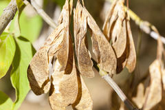 Dry maple seeds Royalty Free Stock Photography