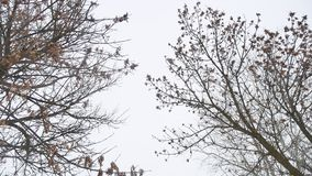 Dry maple tree tops white winter sky a landscape stock footage