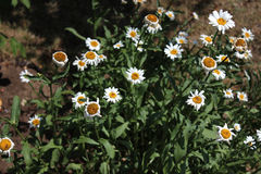 Dry Marguerittes in the Garden Stock Photography