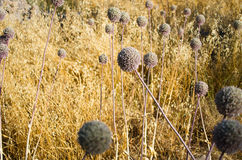 Dry meadow for background usage Stock Photography