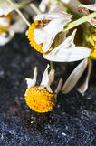 Dry medical Chamomile flowers Stock Images