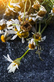 Dry medical Chamomile flowers Stock Photo