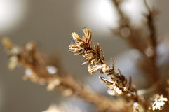 Dry Mini Fir Tree Macro. Close up photo of dry brown mini fir tree branches Stock Images
