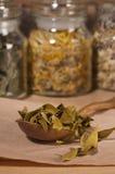 Dry mistletoe leaves Stock Image