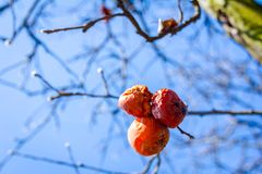 Dry mummified fruits on a tree branch in the sunny spring day. Dry apple, quince rotten fruit on the tree in orchard, organic food Royalty Free Stock Images