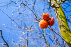 Dry mummified fruits on a tree branch in the sunny spring day. Dry apple, quince rotten fruit on the tree in orchard, organic food Royalty Free Stock Photography