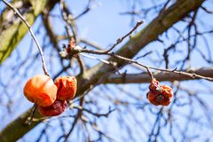 Dry mummified fruits on a tree branch in the sunny spring day. Dry apple, quince rotten fruit on the tree in orchard, organic food Stock Images