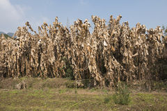 Dry musa basjoo forest. In winter Stock Image