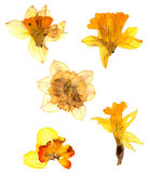Dry narcissus isolated on white background. Dry narcissus perspective flowers and petals of jonquil, isolated on white background royalty free stock photos