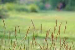In selective focus brown wild grass flower blossom in a field. Dry natural background royalty free stock images