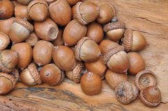 Dry oak acorns Royalty Free Stock Photos