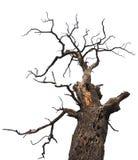 Dry oak. Dead oak tree from below Royalty Free Stock Images