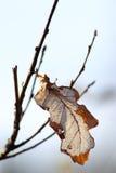 Dry oak leaf Stock Photos