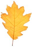 Dry oak leaf Stock Images